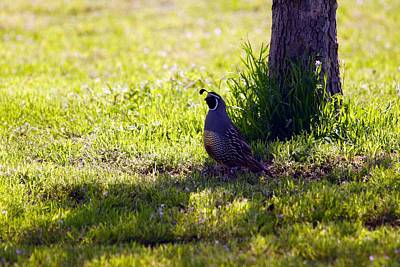 Photograph - Quail On Watch by Michael Courtney