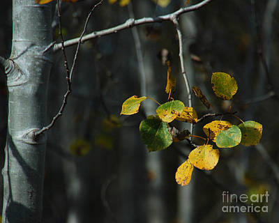 Photograph - Quaking Aspen  by Chuck Flewelling
