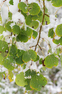 Quaking Aspen Photograph - Quaking Aspen Leaves, First Snow by Maresa Pryor