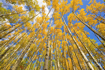 Photograph - Quaking Aspen Near The Alaska Highway by Yva Momatiuk John Eastcott