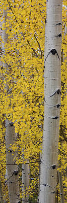 Quaking Aspen Photograph - Quaking Aspen Populus Tremuloides Tree by Panoramic Images