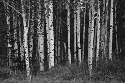 Photograph - Quaking Aspen Stand by Eric Tressler