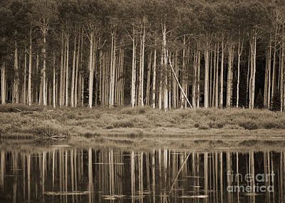Quaking Aspens Reflected In Willow Lake Original