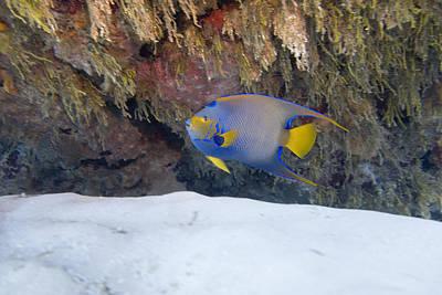 Underwater Photograph - Queen Angel by Jim Murphy