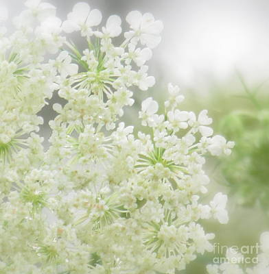 Photograph - Queen  Anne Lace by France Laliberte