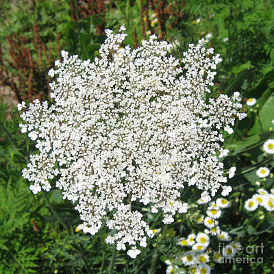 Photograph - Queen Anne's Lace 1 by Conni Schaftenaar