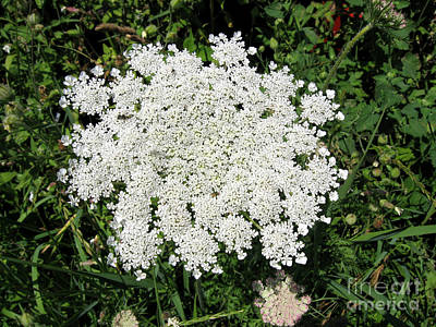 Photograph - Queen Anne's Lace 2 by Conni Schaftenaar