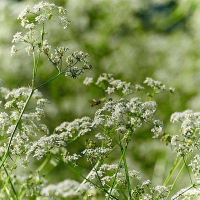 Keck Photograph - Queen Annes Lace And A Hover by Jouko Lehto