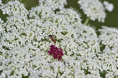 Photograph - Queen Anne's Lace Ant by Ms Judi