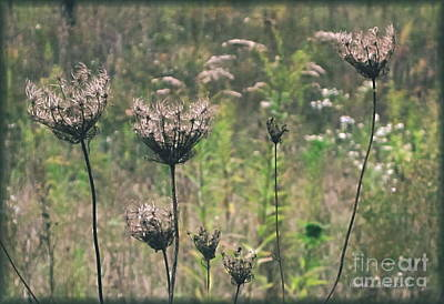 Photograph - Queen Anne's Lace-closing For The Season by Kathie Chicoine