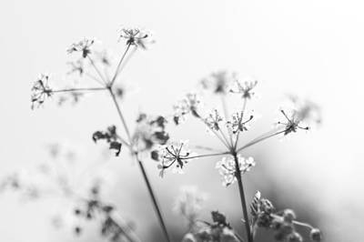 Art Print featuring the photograph Queen Anne's Lace by David Isaacson