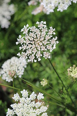 Photograph - Queen Anne's Lace by Diane Alexander