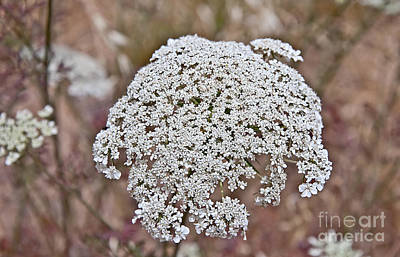Photograph - Queen Anne's Lace Flower Daucus Carota by Valerie Garner
