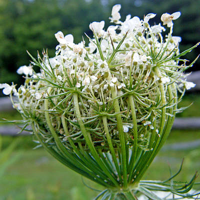 Photograph - Queen Anne's Lace Flower Unfolded by Duane McCullough