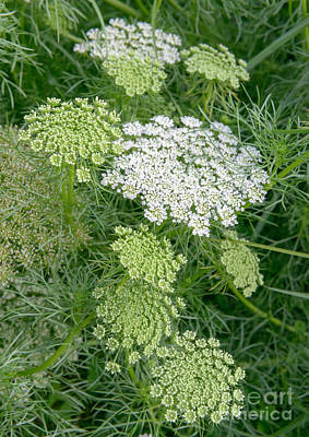Photograph - Queen Anne's Lace II by Sharon Seaward