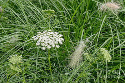Photograph - Queen Anne's Lace IIi by Sharon Seaward