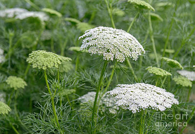 Photograph - Queen Anne's Lace Iv by Sharon Seaward