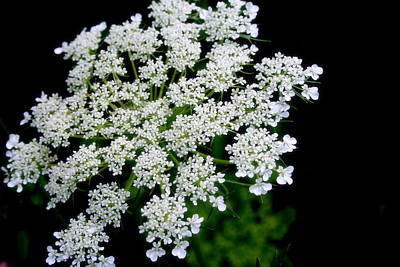 Photograph - Queen Anne's Lace by Kay Novy
