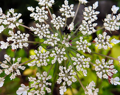 Photograph - Queen Anne's Lace Macro by Shawna Rowe