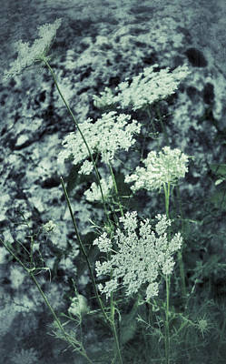 Photograph - Queen Anne's Lace by Patricia Januszkiewicz