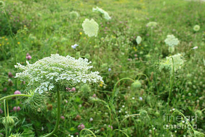 Photograph - Queen Anne's Lace White Wildflower Growing In Midwest Usa by Adam Long