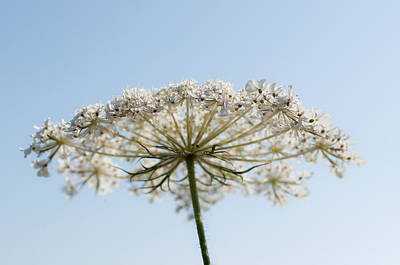 Photograph - Queen Anne's Lace With Blue  by Tikvah's Hope