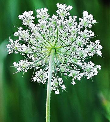 Photograph - Queen Ann's Lace by Al Fritz