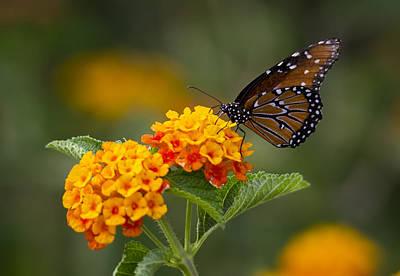 Photograph - Queen Butterfly Atop Lantana by Saija  Lehtonen