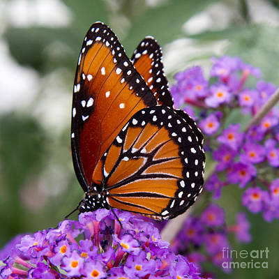 Photograph - Queen Butterfly by Chris Scroggins
