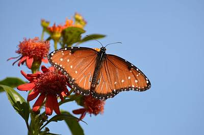 Art Print featuring the photograph Queen Butterfly by Debra Martz