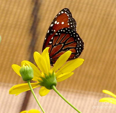 Queen Butterfly Photograph - Queen Butterfly by Marilyn Smith