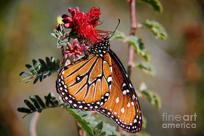 Queen Butterfly Art Print by Mariola Bitner