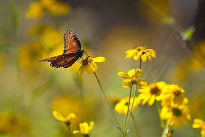 Queen Butterfly On Coreopsis  Art Print by Mark Weaver