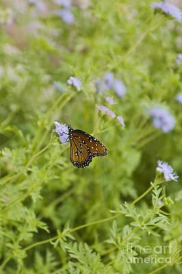 Agnus Photograph - Queen Butterfly by Richard and Ellen Thane