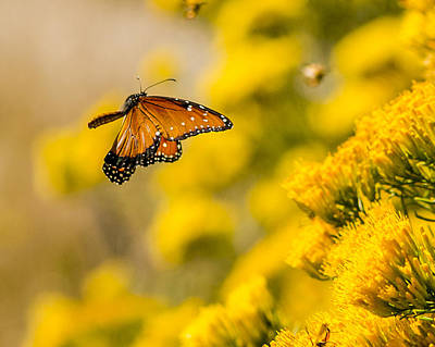 Photograph - Queen In Flight by Steve Thompson