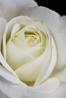 Queen Ivory Rose Flower 2 Art Print by Jennie Marie Schell