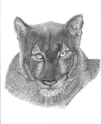 Sahara Drawing - Queen Of The Jungle by D Sharelle