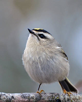 Photograph - Queen Of The Kinglets by Stephen Flint