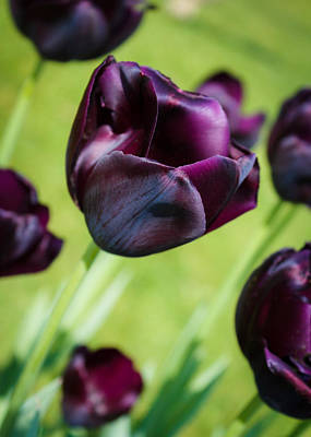 Queen Of The Night Black Tulips Art Print by Peta Thames