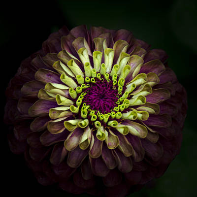 Photograph - Queen Red Lime Zinnia by Julie Palencia