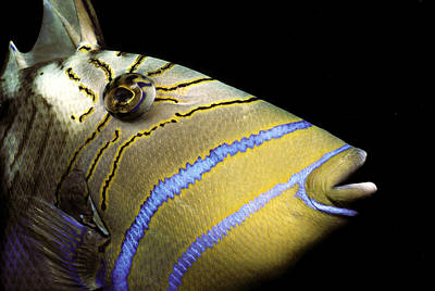 Triggerfish Photograph - Queen Triggerfish by Jeff Rotman