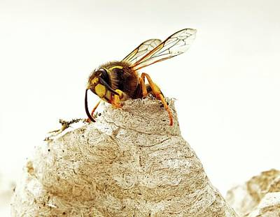 Wasp Nest Photograph - Queen Wasp Emerging From Nest by Ian Gowland