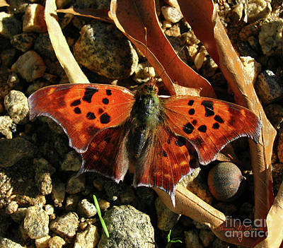 Art Print featuring the photograph Question Mark Butterfly by Donna Brown