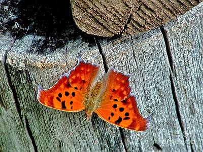 Photograph - Question Mark Butterfly by Marilyn Smith