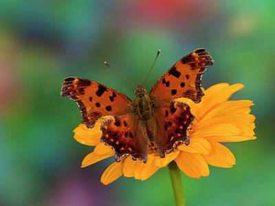 Cone Flowers Photograph - Question Mark Butterfly, Polygonia by Darrell Gulin