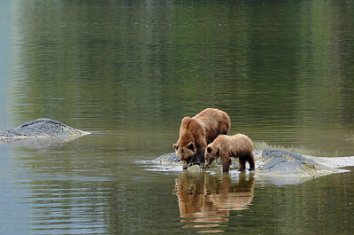 Nature Of Bear. Nature Of Bear In Water.grizzly Photograph - Quiet Interlude by Cyril Furlan