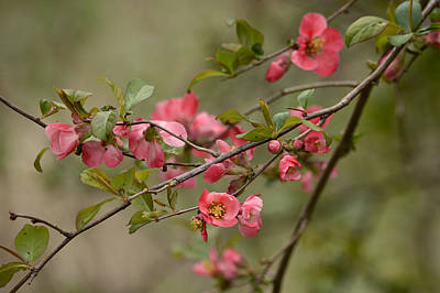 Photograph - Quince by Ann Bridges