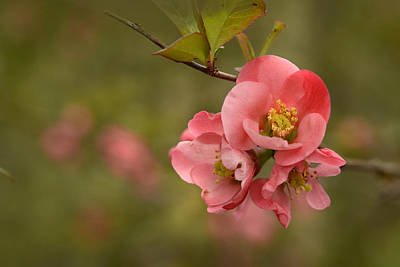 Photograph - Quince Blossom by Ann Bridges