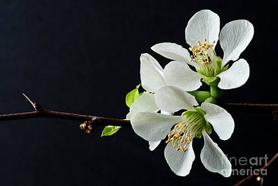 Photograph - Quince Branch 2012 by Art Barker