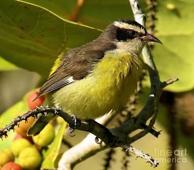 Photograph - Quintana Roo Bananaquit by Adam Jewell